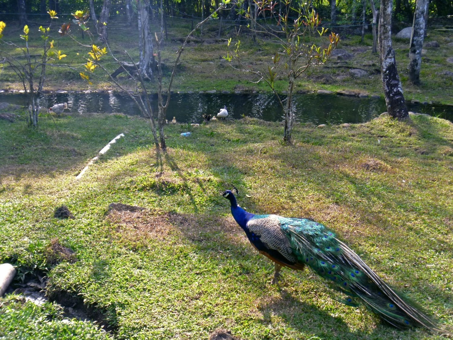 Peacock at Boquete Hot Springs