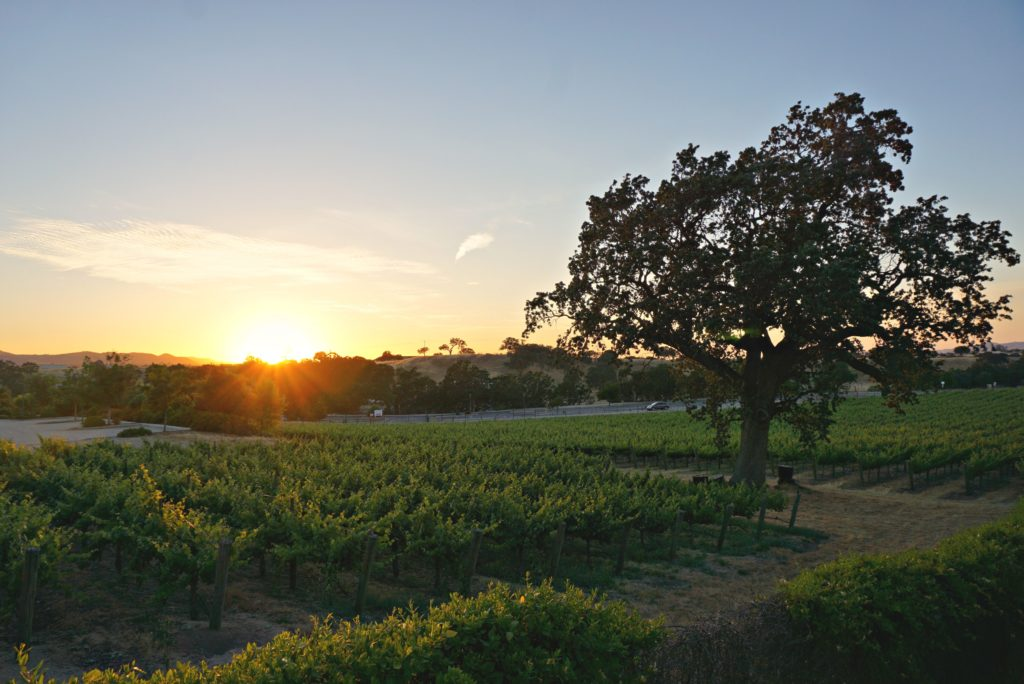 Vineyard with sun setting