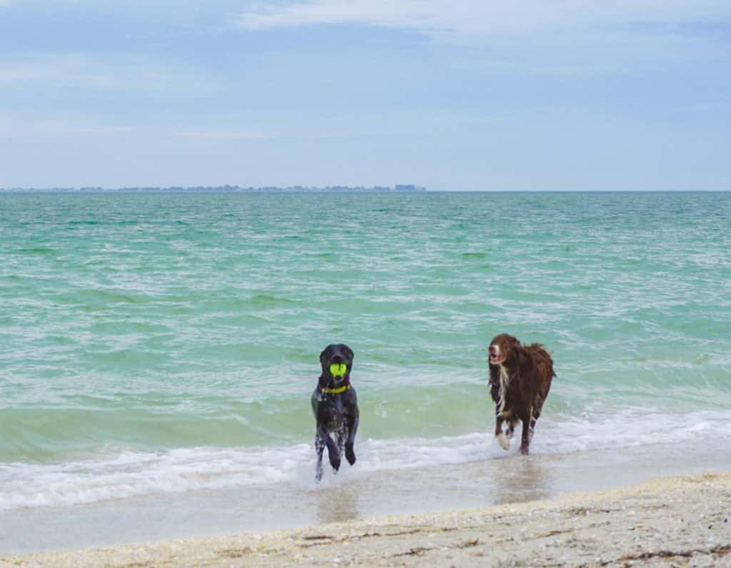 Two dogs playing in the ocean