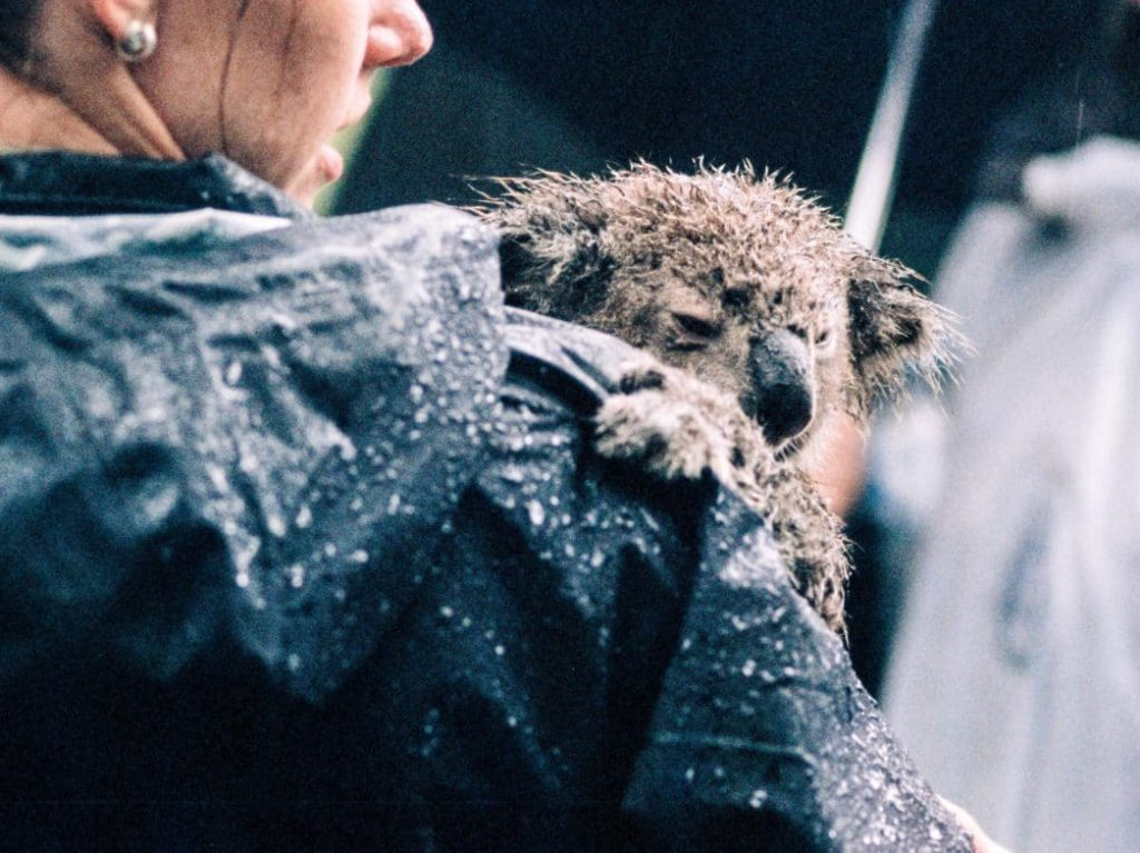 koala bear hugging woman in rain